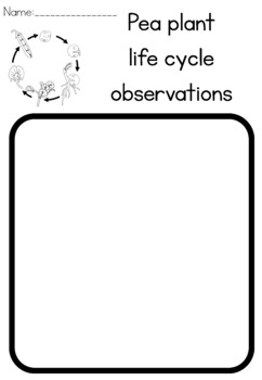 Pea life cycle observation sheet