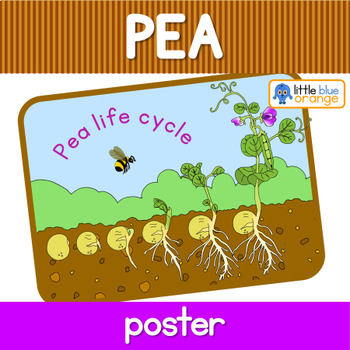 Pea life cycle poster