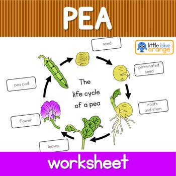 Pea life cycle  worksheet