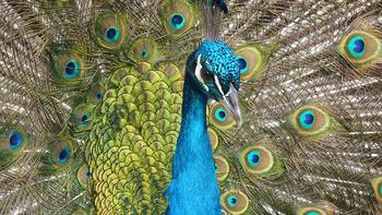 Peacock Digital Puzzle VIPKID