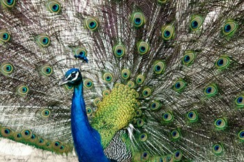Peacock Photographs for Classroom and Commercial Use