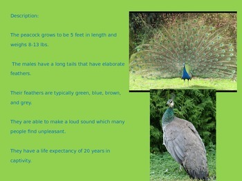 Peacock - Powerpoint - Information Facts Pictures