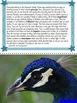 Peacocks: Non-Fiction Literacy Center or Close Reading Poc