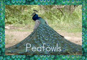 Peafowls/Peacocks - Flashcards/Posters