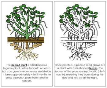 Peanut Plant Nomenclature Book