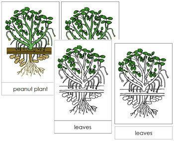 Peanut Plant Nomenclature Cards