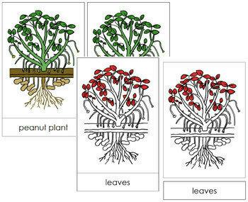 Peanut Plant Nomenclature Cards - Red