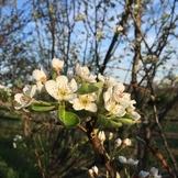 Pear Blossom (Stock Photo)