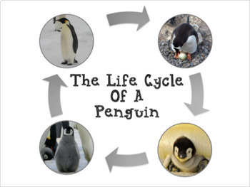 Penguin Life Cycle With Real Photos Montessori Preschool Science