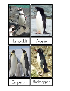 Penguin Species Three Part Cards