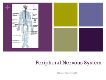 Peripheral Nervous System PPT w/student notes and worksheet