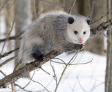 Perspecitves/Point of View Playing Opossum