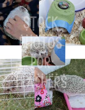 Pet Stock Photos Hedgehog