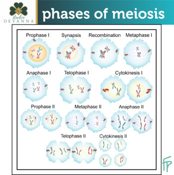 Phases of Meiosis Clip Art