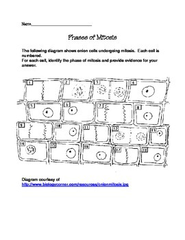 mitosis phases worksheet - Termolak