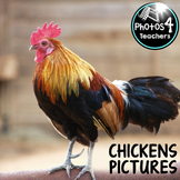Photo 1:Chicken, Chicks and Rooster