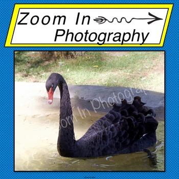 Stock Photo: Black Swan