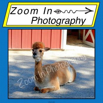 Stock Photo: Alpaca
