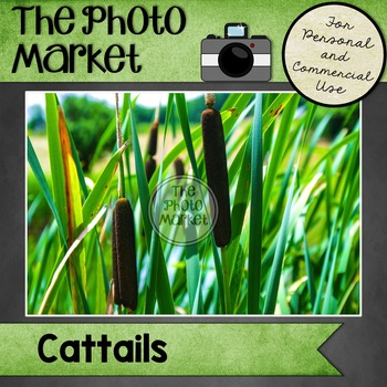 Photo: Cattails
