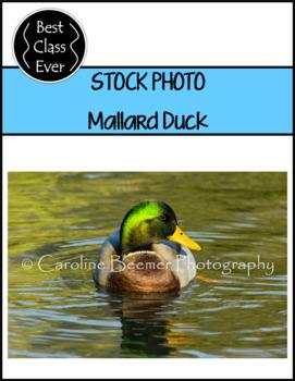 Photo Mallard Duck
