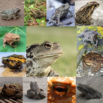 Photos Photographs Photo Toads - 15 real images, clip art