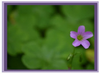 Photo Products - Blooming Shamrocks With PurpleTheme