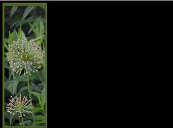 Photo Products - Mary's Garden Allium Ball Black Theme