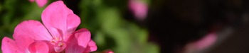 Photo Products - Mary's Garden Pink Geraniums Theme