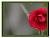 Photo Products - Rose With Dusty Rose Theme