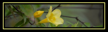 Photo Products - Yellow Trumpet Vine With Black Theme