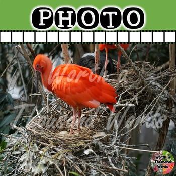 Photo:  Scarlet Ibus Turning Egg