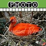 Photo: Scarlet Ibus on Nest