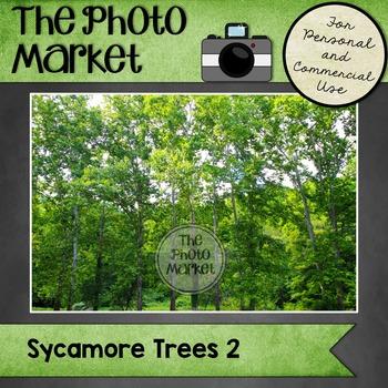 Photo: Sycamore Trees