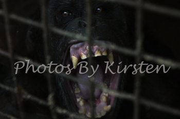 A Stock Photo of an Ape in a Cage Captivity