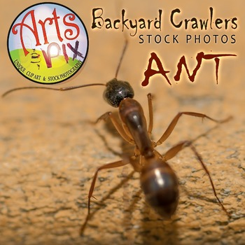 """Stock Photo - """"Insect: ANT"""" - Photograph - Arts & Pix"""