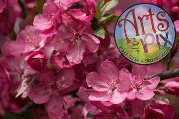 "Stock Photo - ""Apple Blossoms"" flowers - photograph - Arts & Pix"