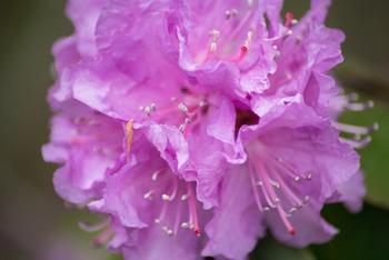 Photograph - Azalea Flower CloseUP - FREEBIE