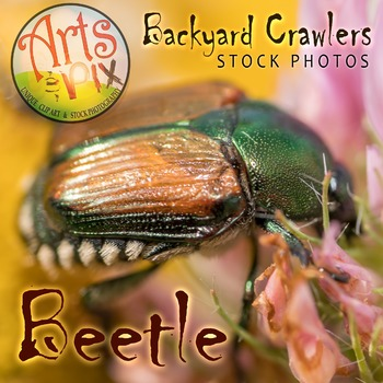 Photograph - Beetle - insect - stock photo