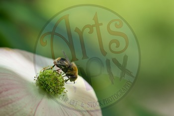 Photograph - Bumble Bee - stock photo - title background - insects