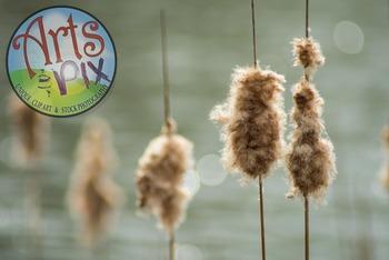 Stock Photo - Photograph - Cattails - wetlands