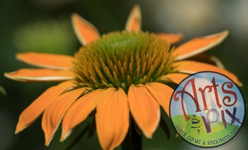 """Coneflower"" Photograph - Flower - CloseUP - FREE"