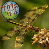 """Photograph"" Dragonfly - Insect - Stock Photo - CloseUP"