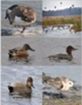 Photograph: Ducks