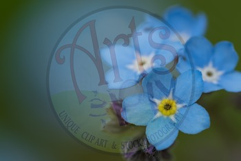 Photograph - Forget Me Not - Title Background - stock photo - flowers