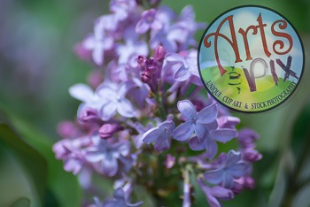 "Stock Photo - ""Lilac"" flowers - photograph - Arts & Pix"