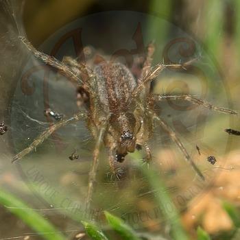 "Stock Photo - ""Arachnid: SPIDER"" - Photograph - Arts & Pix"