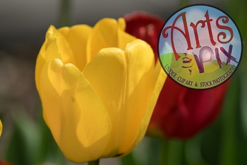 "Stock Photo - ""Tulips"" Flowers - photograph - Arts & Pix"
