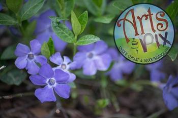 """Stock Photo - """"Vinca"""" Flowers - Photograph - Arts & Pix"""