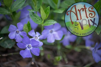 "Stock Photo - ""Vinca"" Flowers - Photograph - Arts & Pix"