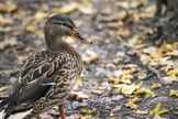 Photograph of a duck in Autumn